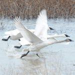 3 swans taking off 150 dpi