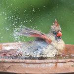 Cardinal girl bathing copy