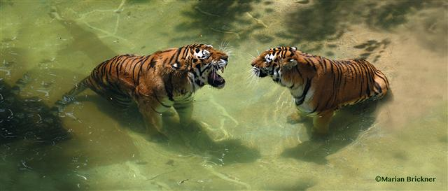 Lions swimming