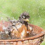Robin bathing May5