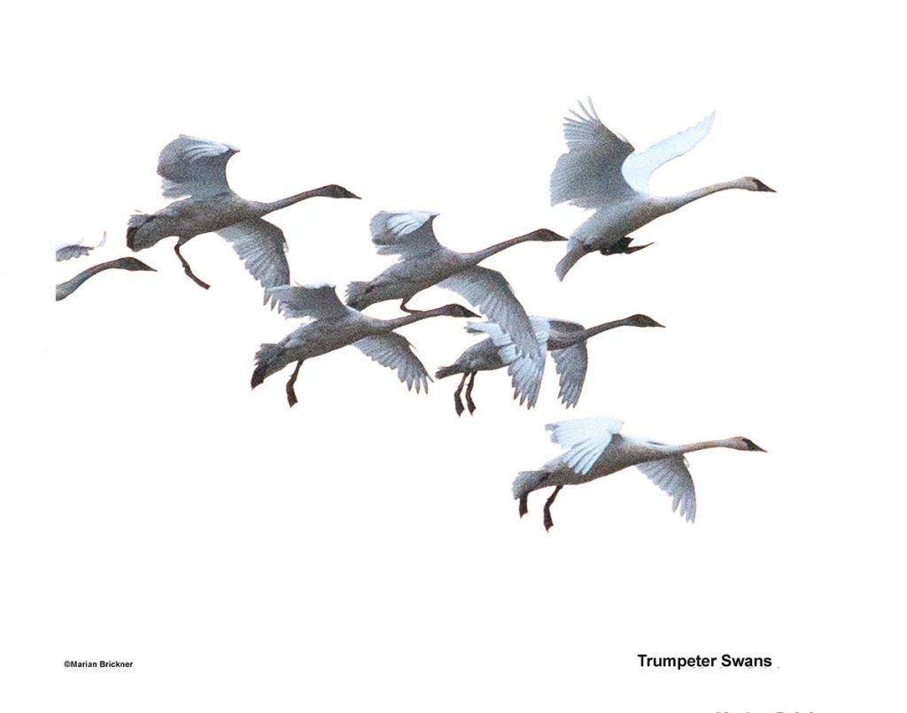 Trumpeter Swans 150 dpi