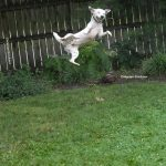 dog abcharlie leaping