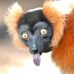lemur tongue out
