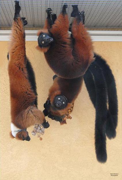 lemur triplet poster 11 x 14