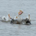 pelican eating carp