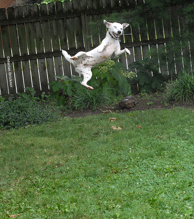 dog charlie leaping 2