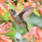 Humming bird-May 9 2-019-103