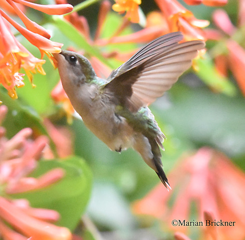 Humming bird-May 9 2-019-103