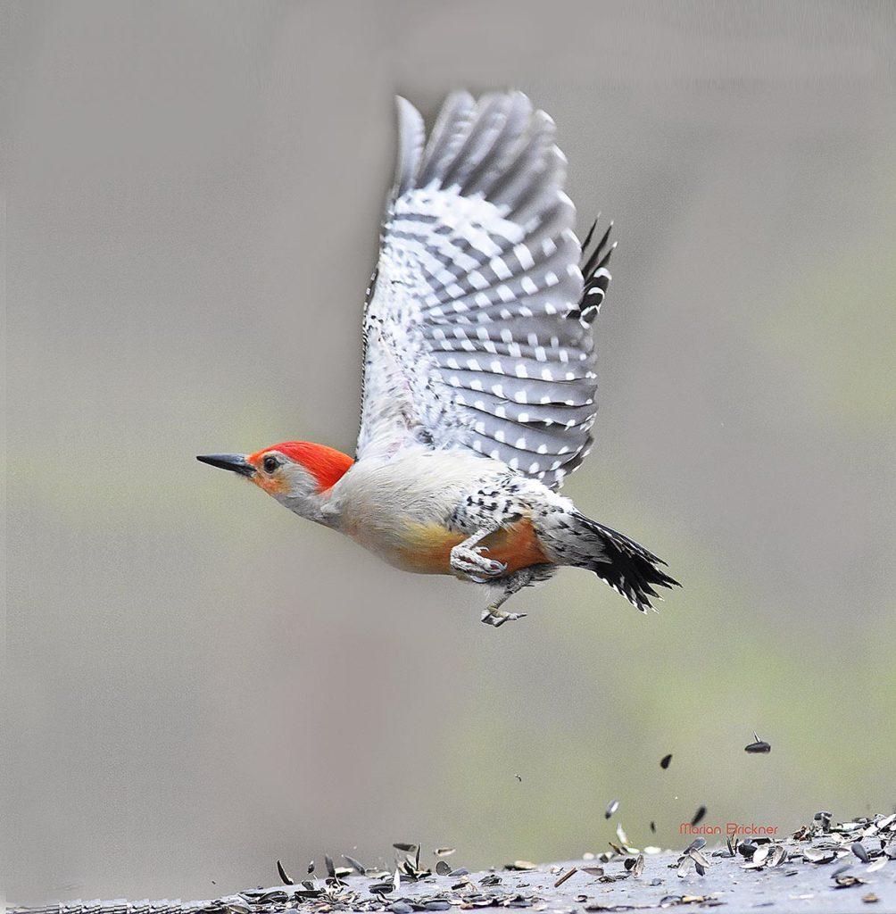 Red -Bellied Wood Pecker