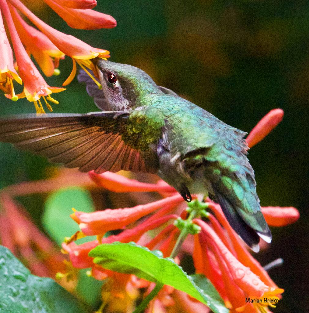 HUmming bird May 9 2019