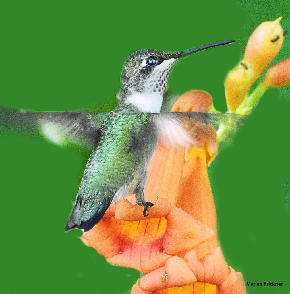 HUmming bird.July 25 2020132jpg