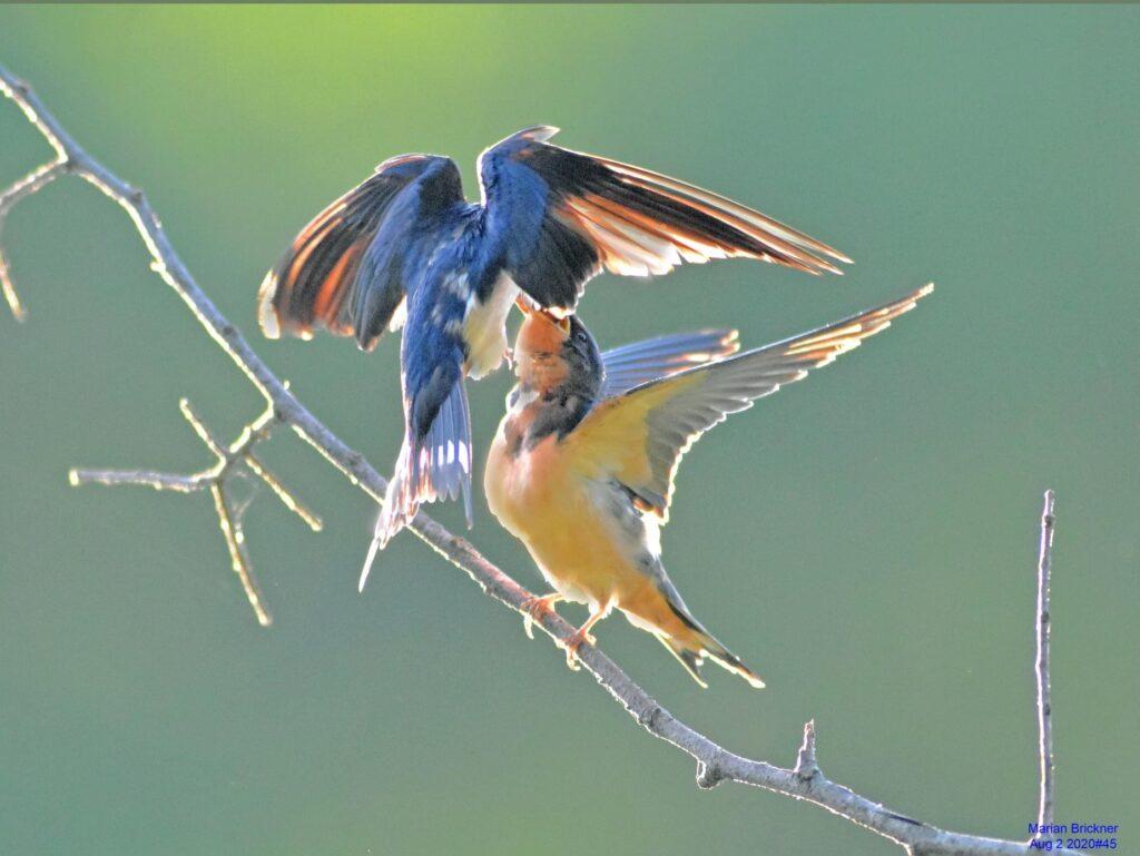 AAbird