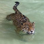 Jaguar swimming